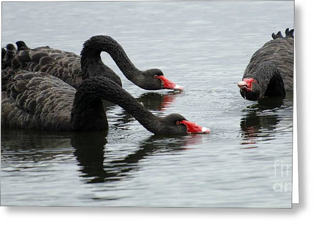 Black Swans Greeting Cards - Black Swans Australia Greeting Card by Bob Christopher