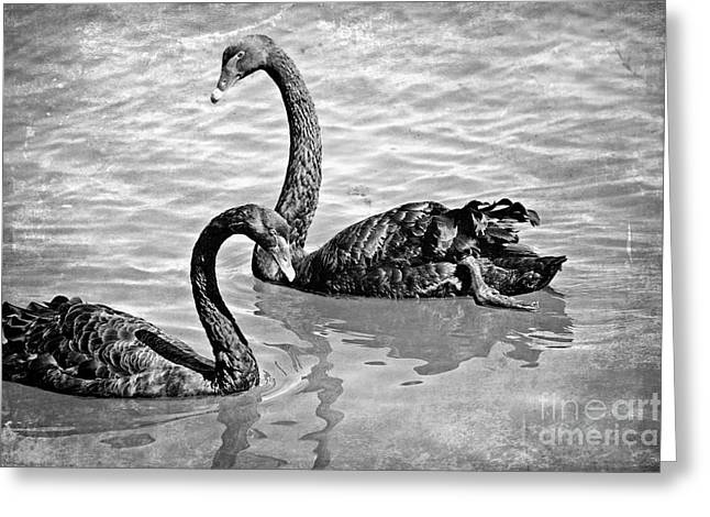 Black Swans - Black And White Textures Greeting Card by Carol Groenen