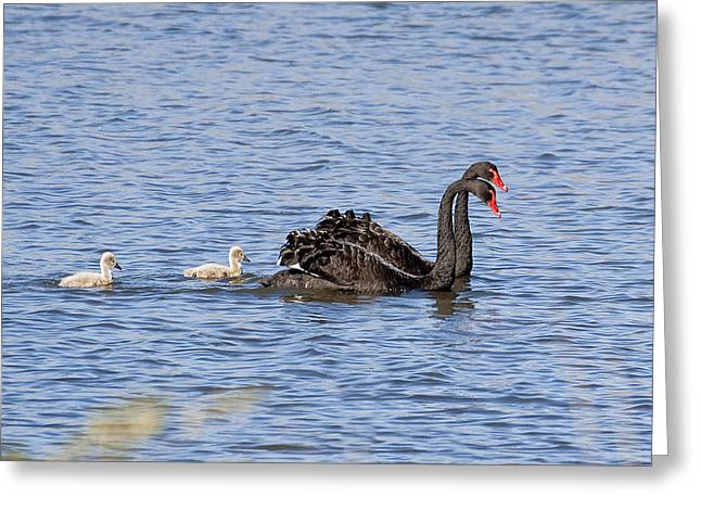 Ralser Greeting Cards - Black swans Greeting Card by Steven Ralser