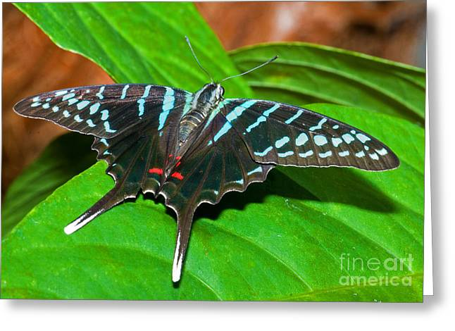 Animals And Insects Greeting Cards - Black Swordtail Butterfly Greeting Card by Millard H. Sharp