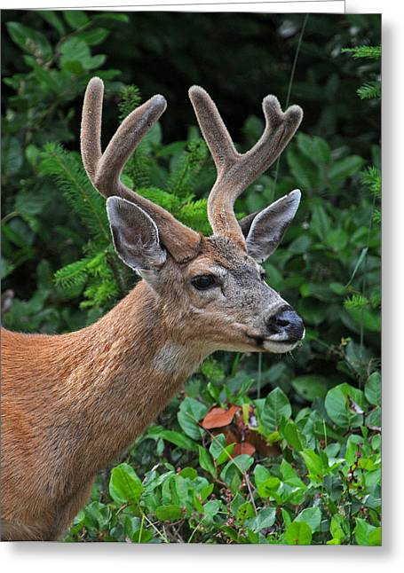 Bucks In Velvet Photograph Greeting Cards - Black Tailed Buck in Velvet Greeting Card by Jlt Photography