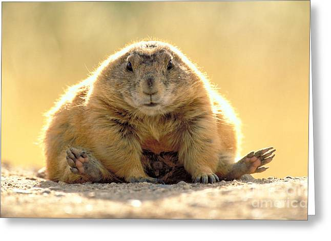 Prairie Dogs Greeting Cards - Black-tailed Prairie Dog Greeting Card by Art Wolfe