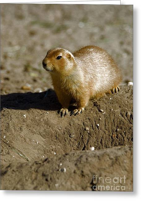 Guard Dog Greeting Cards - Black-tailed Prairie Dog Greeting Card by Mark Newman