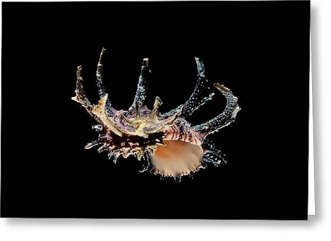 Black-tanked Angaria Sea Snail Shell Greeting Card by Gilles Mermet