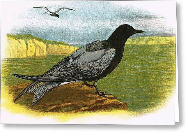 Tern Greeting Cards - Black Tern Greeting Card by English School