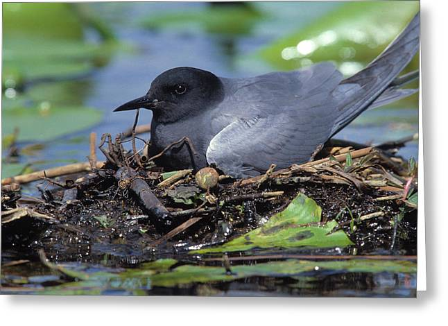 Tern Greeting Cards - Black Tern On Floating Nest Greeting Card by Fred Hazelhoff