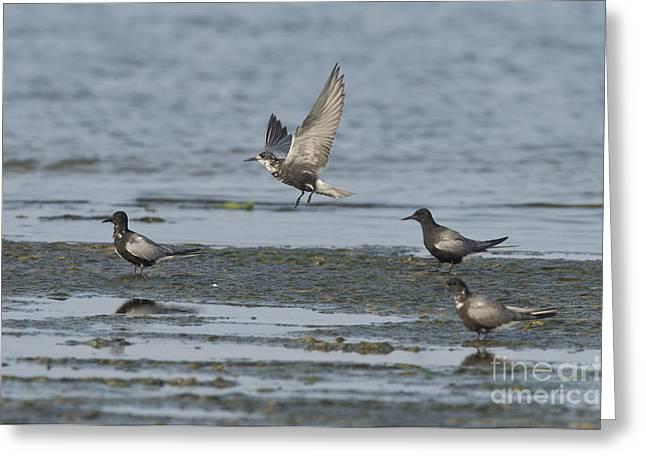Tern Greeting Cards - Black Terns Greeting Card by Anthony Mercieca