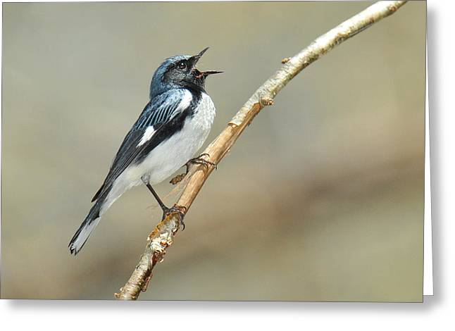 Black-throated Blue Sings Greeting Card by Alan Lenk