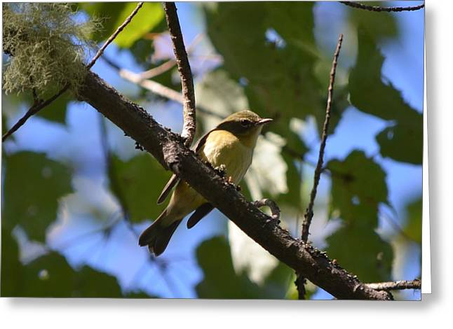 Maine Greeting Cards - Black-throated Blue Warbler Greeting Card by James Petersen