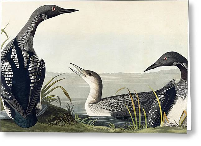 Black Throated Diver  Greeting Card by John James Audubon