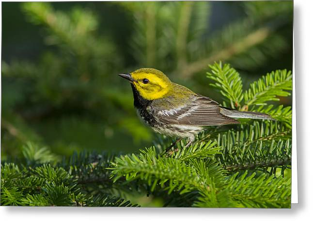 Warbler Greeting Cards - Black-throated Green Warbler Greeting Card by Mircea Costina Photography