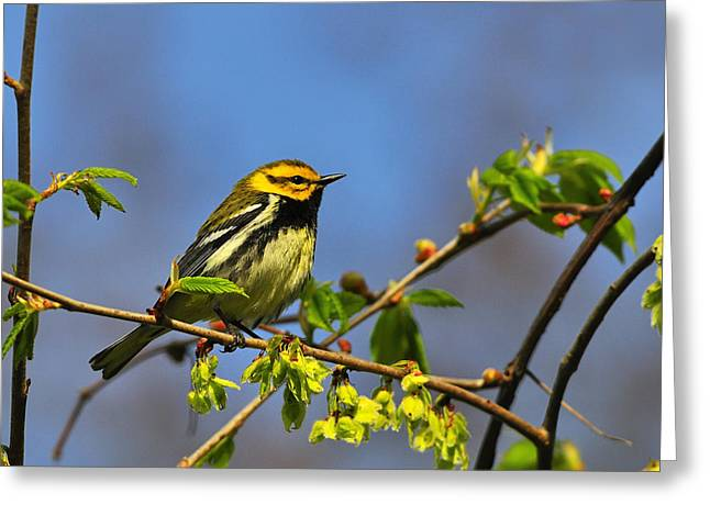 Setophaga Greeting Cards - Black-throated Green Warbler Greeting Card by Tony Beck