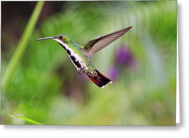 Black-throated Mango Hummingbird Greeting Card by Bob Gibbons