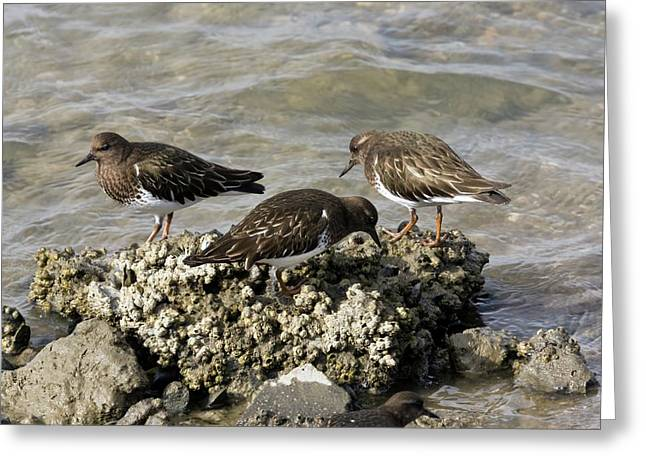 Black Turnstones Feeding Greeting Card by Bob Gibbons