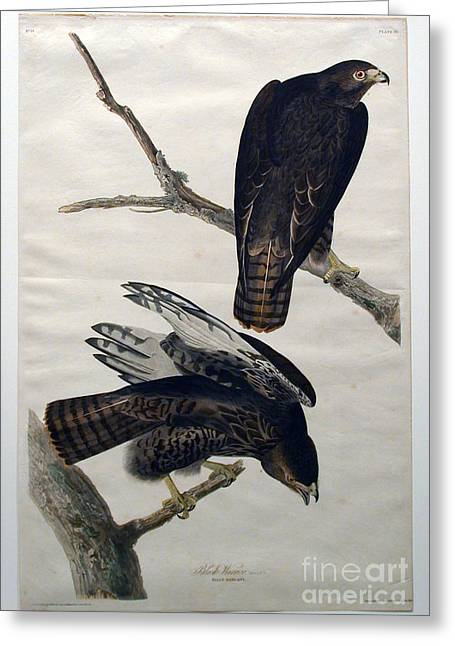 Louisiana Heron Greeting Cards - Black Warrior  Greeting Card by Celestial Images