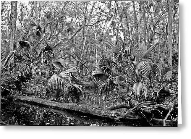 Polk County Florida Greeting Cards - Black Water. Green Swamp Wildlife Management Area Polk County. Greeting Card by Chris  Kusik