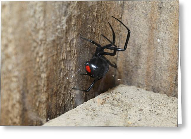 Black Widow Greeting Cards - Black Widow Spider Greeting Card by Robert Camp