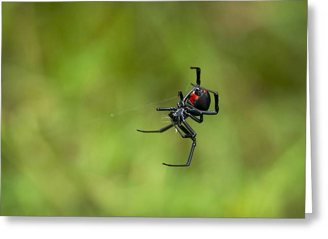 Black Widow Greeting Cards - Black Widow Spider with Red Hour Glass Greeting Card by Kathy Clark