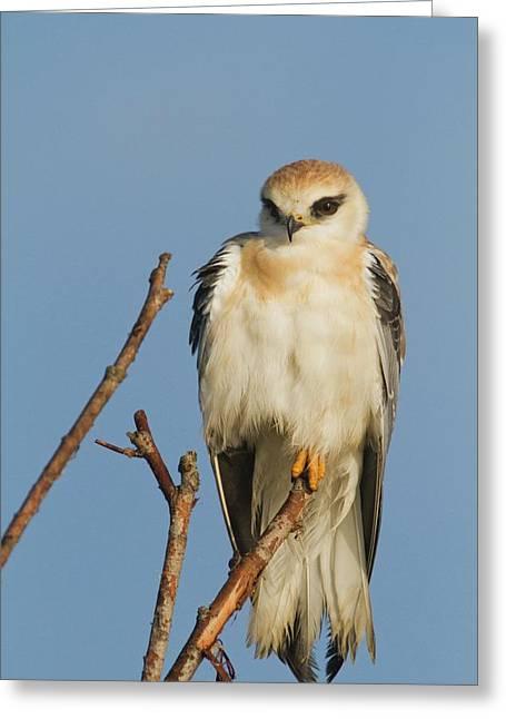 Black-winged Kite (elanus Caeruleus) Greeting Card by Photostock-israel