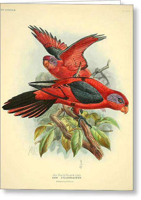 Naturalist Greeting Cards - Black Winged Lory Greeting Card by J G Keulemans