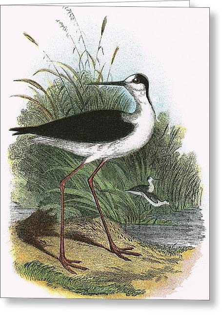 Black Wings Greeting Cards - Black Winged Stilt Greeting Card by English School