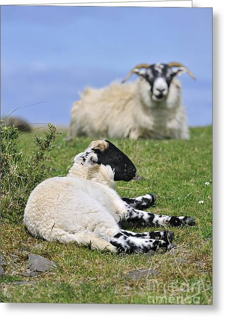 Scottish Blackface Greeting Cards - Blackface Sheep 2 Greeting Card by Arterra Picture Library
