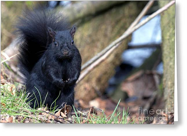 Sciurus Carolinensis Greeting Cards - Blackie Greeting Card by Sharon  Talson