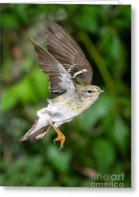 Wood Warbler Greeting Cards - Blackpoll Warbler Greeting Card by Anthony Mercieca