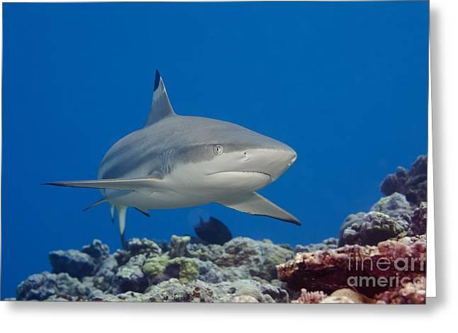 Yapping Greeting Cards - Blacktip reef shark _Carcharhinus melanopterus__ Yap, Micronesia Greeting Card by Dave Fleetham