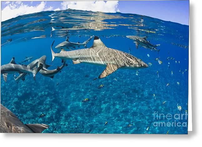 Yapping Greeting Cards - Blacktip reef sharks _Carcharhinus melanopterus_ Yap, Micronesia Greeting Card by Dave Fleetham