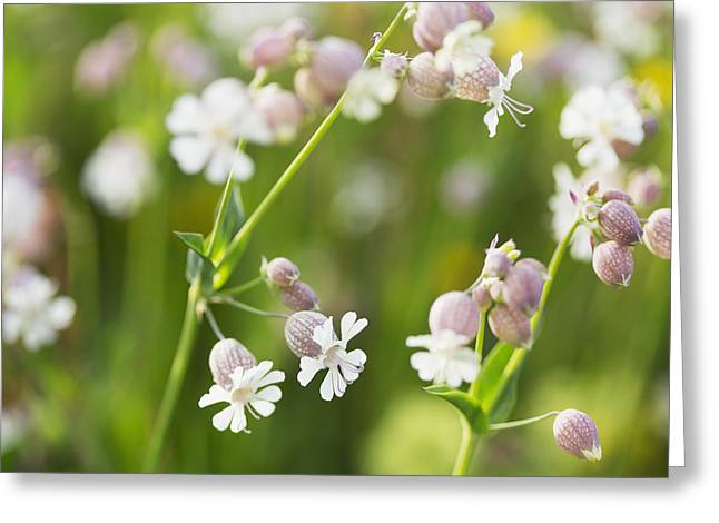 Close Focus Nature Scene Greeting Cards - Bladder Campion _silene Vulgaris__ Greeting Card by Carl Bruemmer
