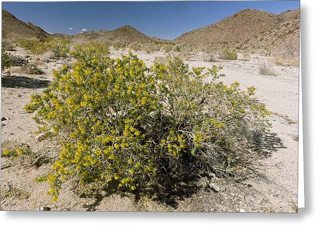 Californian Greeting Cards - Bladderpod (Cleome isomeris) Greeting Card by Science Photo Library