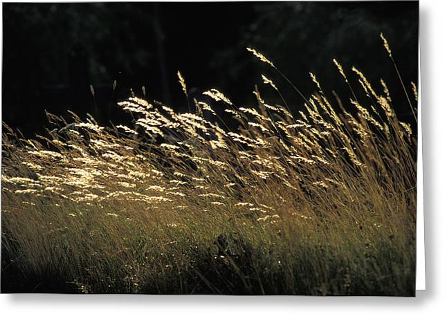 Blades Of Grass In The Sunlight Greeting Card by Jim Holmes