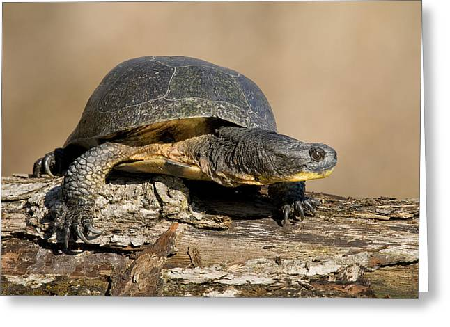Blanding Greeting Cards - Blandings Turtle Sunning On A Log Greeting Card by Steve Gettle