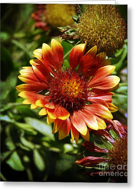 Sunlight On Flowers Greeting Cards - Blanket Flower Greeting Card by Lee Craig