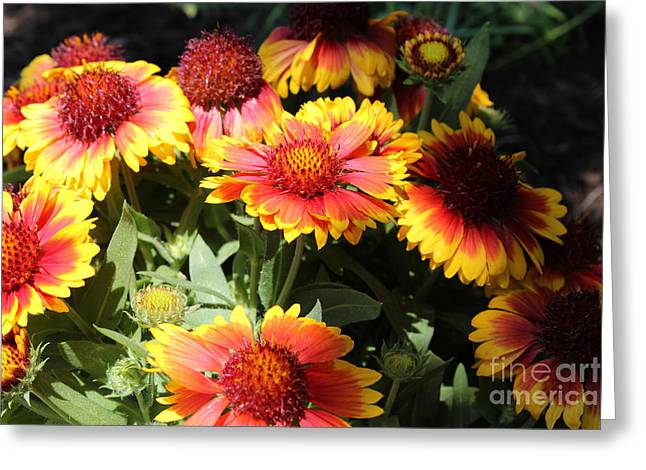 Botanical Pyrography Greeting Cards - Blanket Flowers Greeting Card by Corey Ford