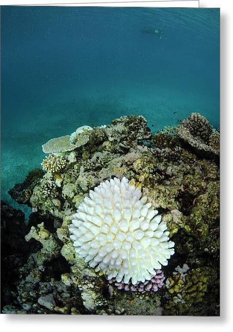 Bleached Coral, Fiji Greeting Card by Pete Oxford