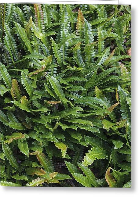 Penna Greeting Cards - Blechnum penna-marina Greeting Card by Science Photo Library