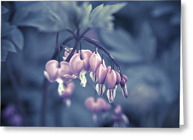 Flower Pictures Greeting Cards - Bleeding Heart Flower Greeting Card by Frank Tschakert