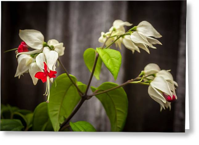 Dicentra Spectabilis Greeting Cards - Bleeding Heart Flowers Clerodendrum Painted Greeting Card by Rich Franco