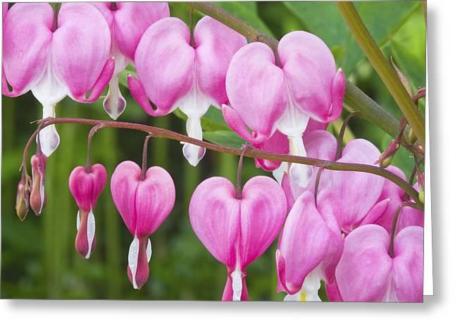 Bleeding Hearts Greeting Cards - Bleeding Heart Flowers Greeting Card by Keith Webber Jr