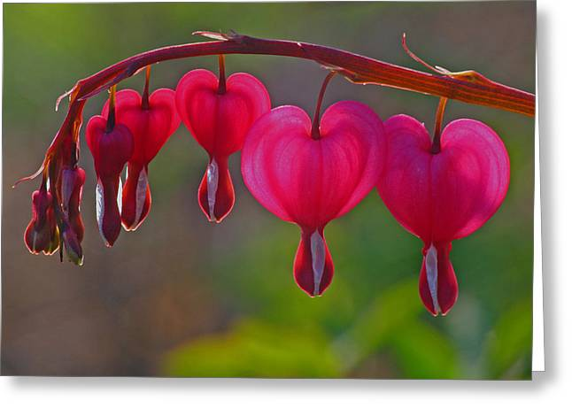 Bleeding Hearts Greeting Cards - Bleeding Heart Greeting Card by Juergen Roth