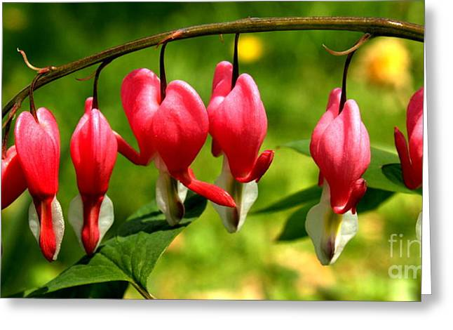 Dicentra Spectabilis Greeting Cards - Bleeding Heart Stem Pano Greeting Card by Anna Lisa Yoder