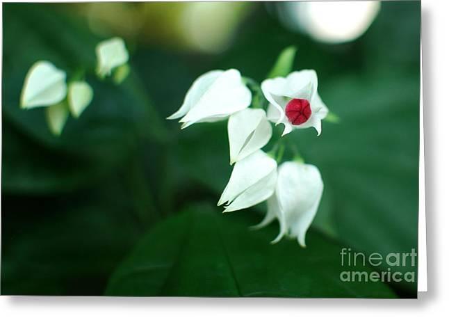 Bleeding Heart Vine Blossom Greeting Card by Floyd Menezes