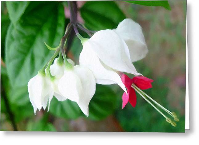 Corymbosa Greeting Cards - Bleeding heart vine flower Greeting Card by Lanjee Chee