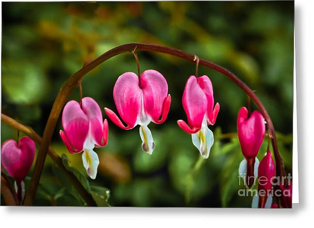 Bleeding Hearts Greeting Card by Robert Bales