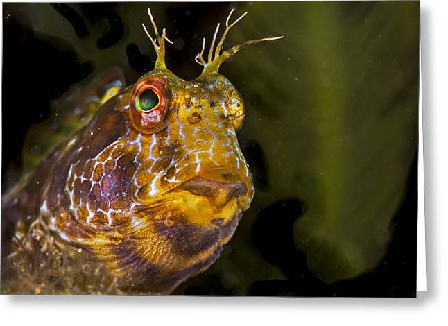Snorkel Greeting Cards - Blenny In Deep Thought Greeting Card by Sandra Edwards
