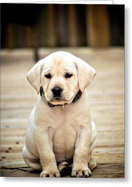 Hallmark Greeting Cards - Blond Lab Pup Greeting Card by Kristina Deane