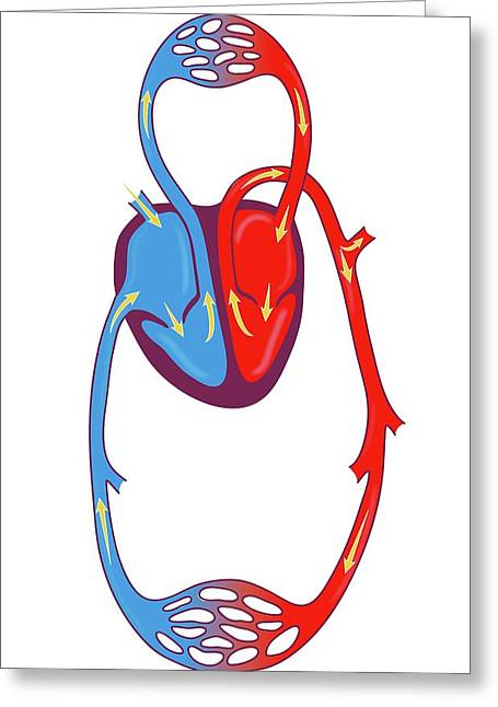 Blood Circulation Greeting Card by Jeanette Engqvist