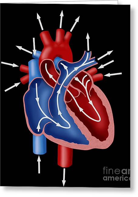 Cava Photographs Greeting Cards - Blood Flow Diagram Greeting Card by Monica Schroeder / Science Source
